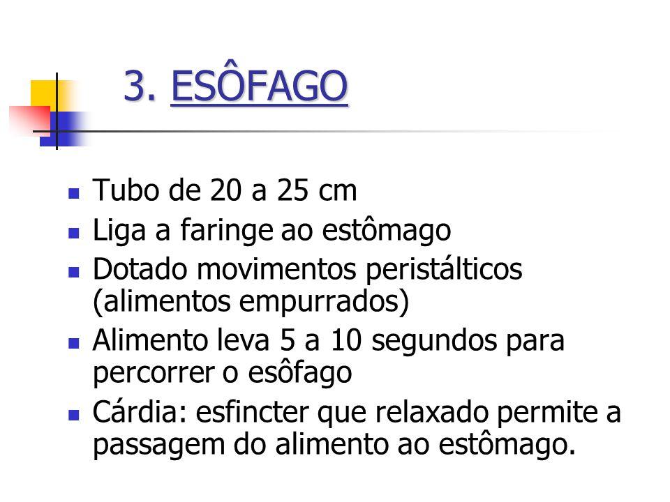 3. ESÔFAGO Tubo de 20 a 25 cm Liga a faringe ao estômago