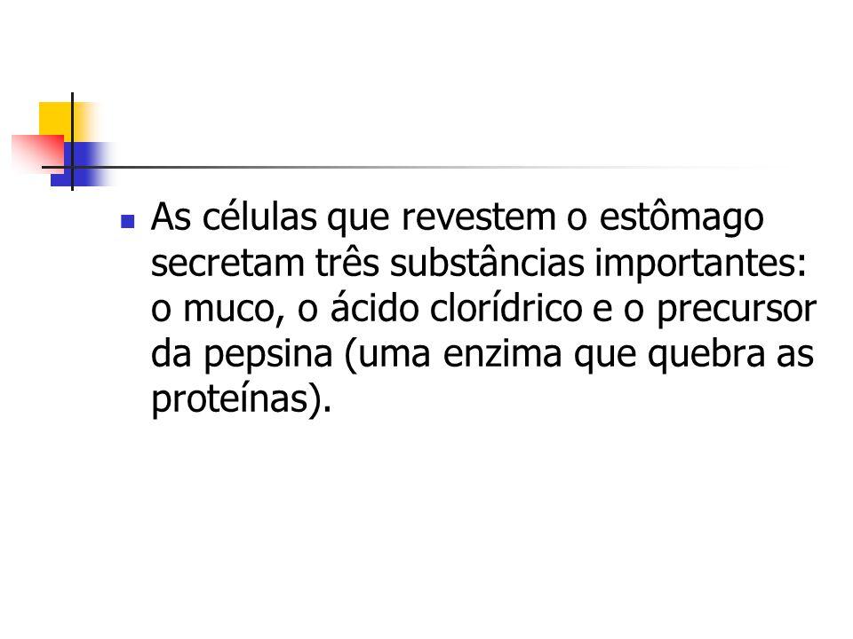 As células que revestem o estômago secretam três substâncias importantes: o muco, o ácido clorídrico e o precursor da pepsina (uma enzima que quebra as proteínas).