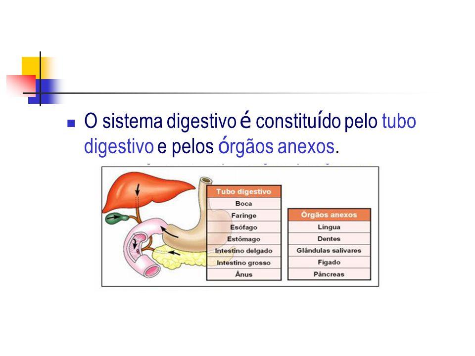 O sistema digestivo é constituído pelo tubo digestivo e pelos órgãos anexos.
