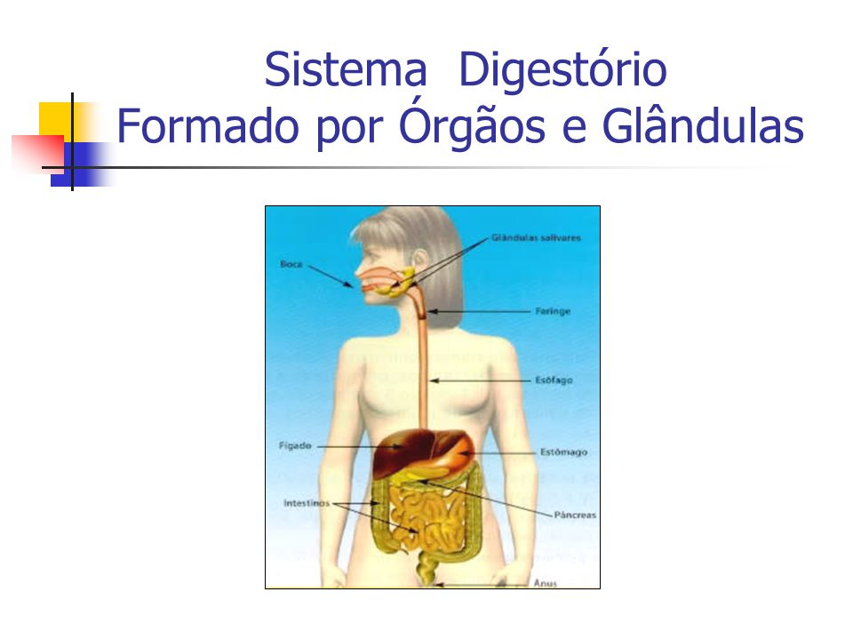 Sistema Digestório Formado por Órgãos e Glândulas