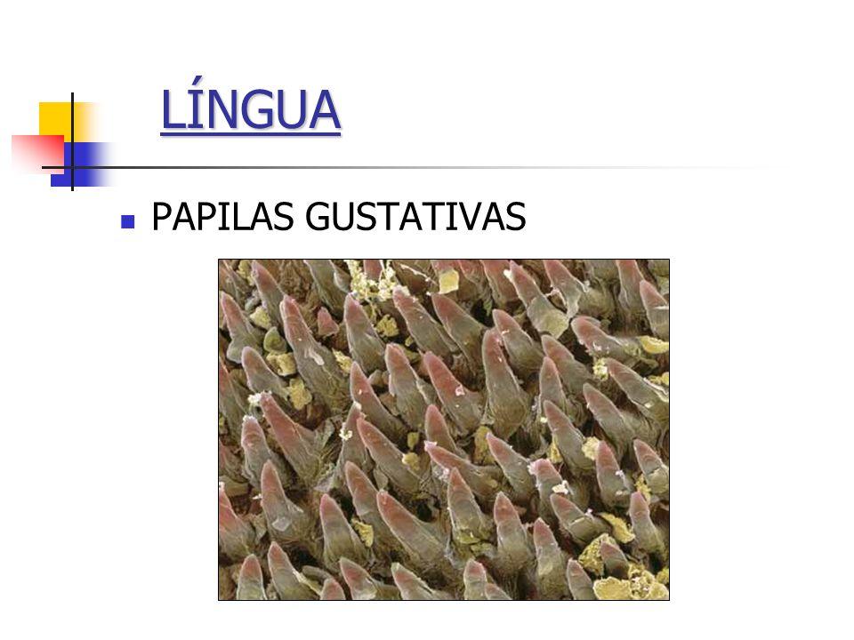 LÍNGUA PAPILAS GUSTATIVAS