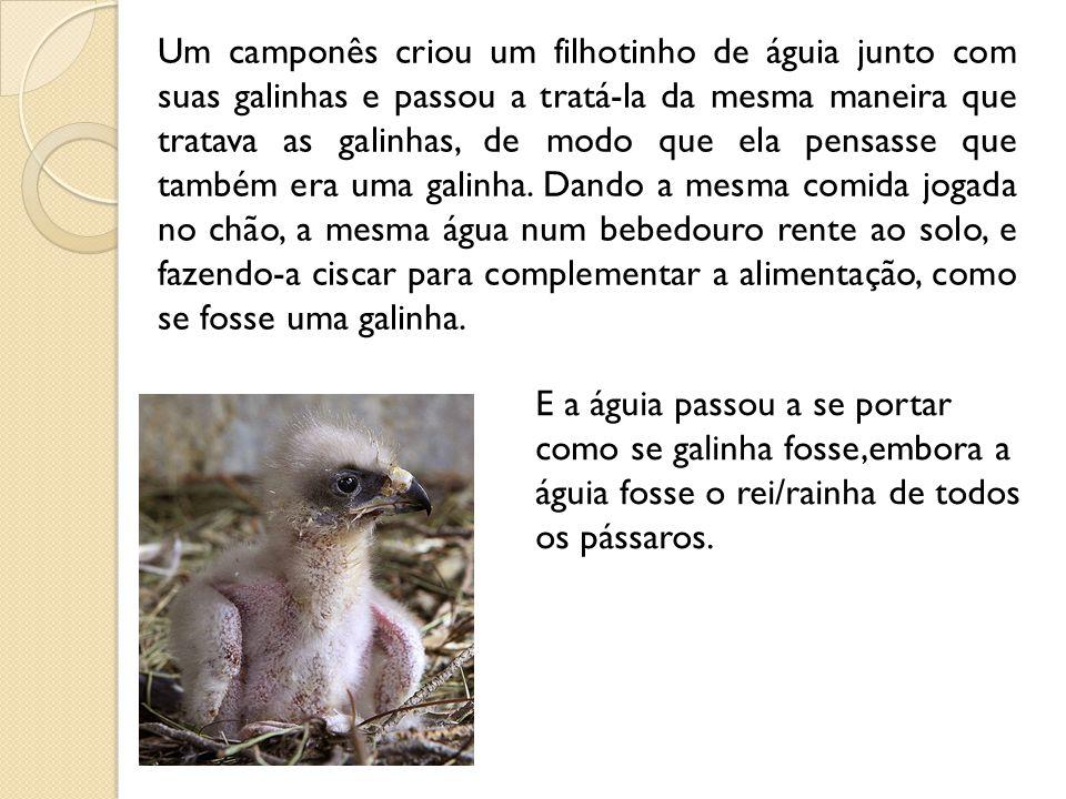Um camponês criou um filhotinho de águia junto com suas galinhas e passou a tratá-la da mesma maneira que tratava as galinhas, de modo que ela pensasse que também era uma galinha. Dando a mesma comida jogada no chão, a mesma água num bebedouro rente ao solo, e fazendo-a ciscar para complementar a alimentação, como se fosse uma galinha.