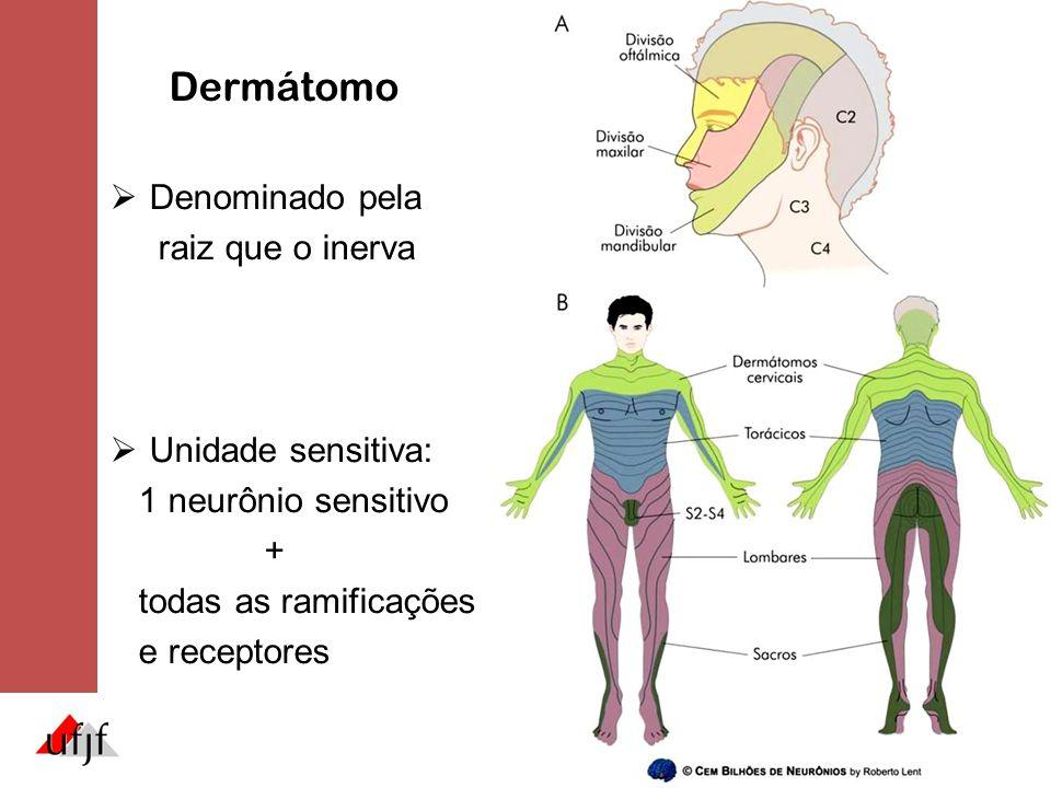 Dermátomo Denominado pela raiz que o inerva Unidade sensitiva: