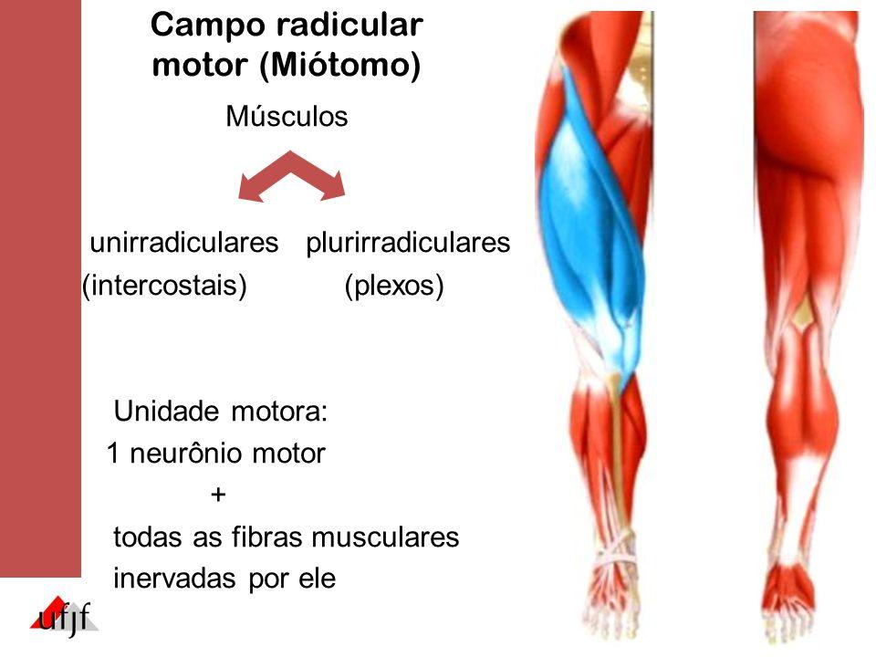 Campo radicular motor (Miótomo)