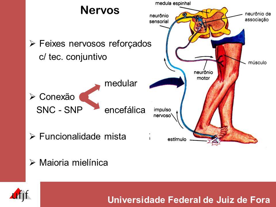 Nervos Feixes nervosos reforçados c/ tec. conjuntivo medular Conexão