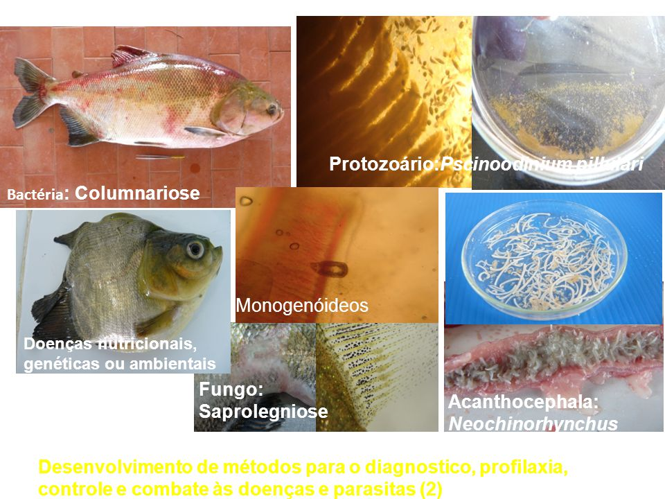 Protozoário:Pscinoodinium pillulari