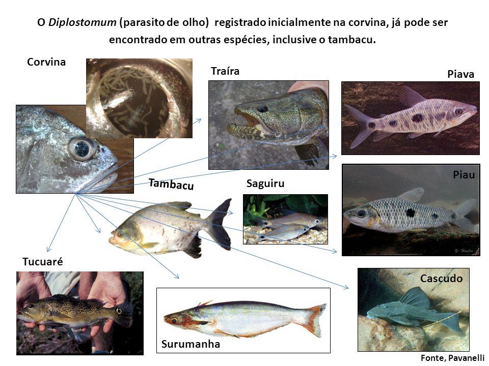 O Diplostomum (parasito de olho) registrado inicialmente na corvina, já pode ser encontrado em outras espécies, inclusive o tambacu.