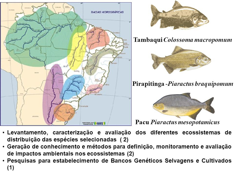 Tambaqui Colossoma macropomum