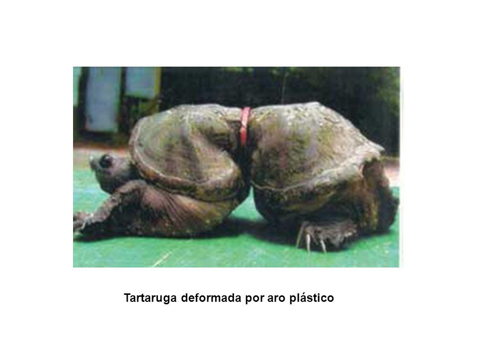 Tartaruga deformada por aro plástico