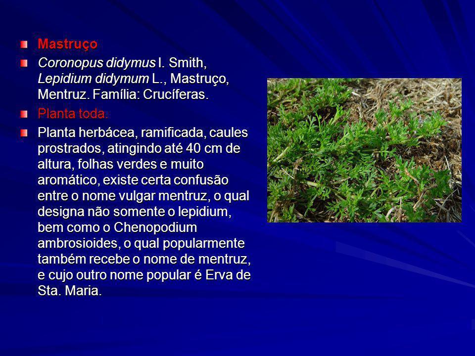 Mastruço Coronopus didymus l. Smith, Lepidium didymum L., Mastruço, Mentruz. Família: Crucíferas. Planta toda.