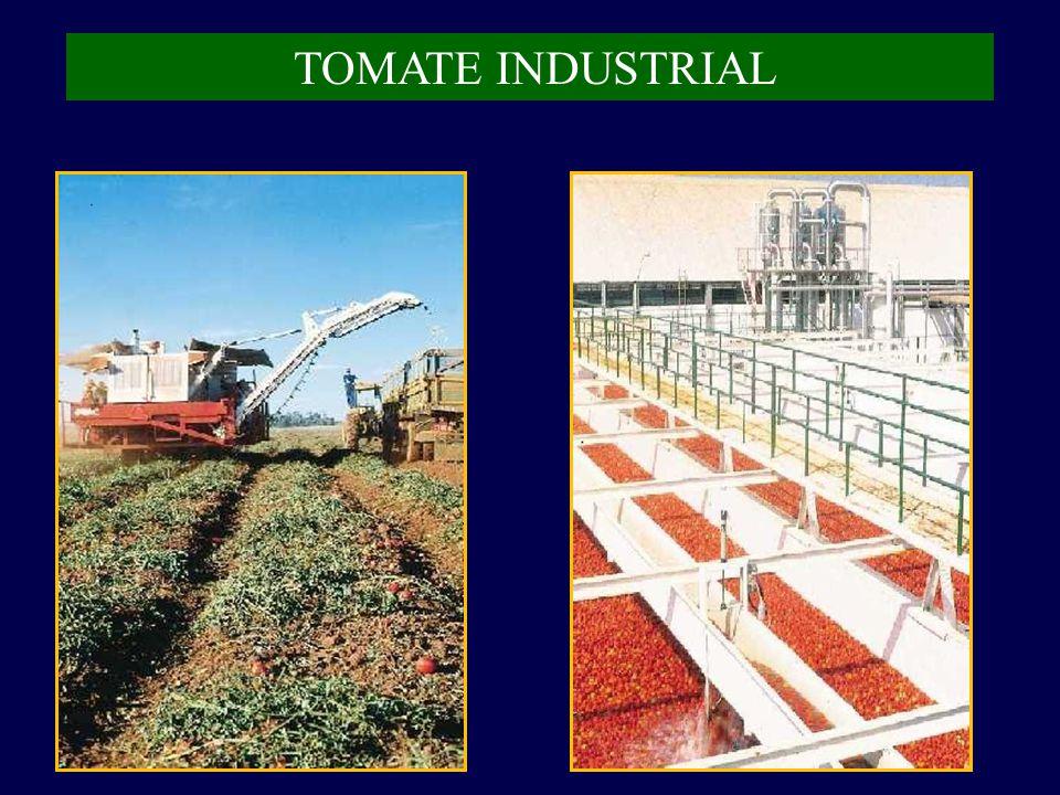 TOMATE INDUSTRIAL
