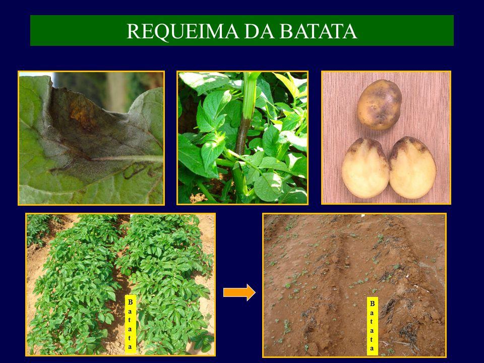 REQUEIMA DA BATATA Batata Batata