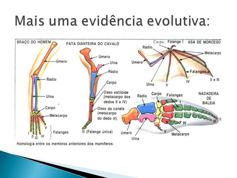 Mais uma evidência evolutiva: