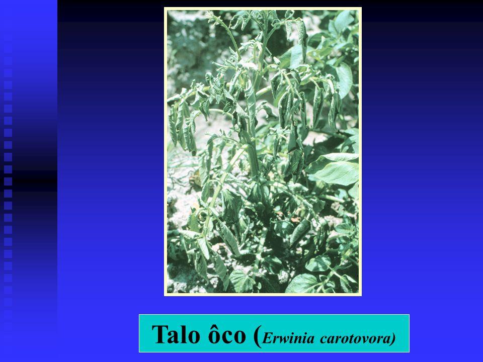 Talo ôco (Erwinia carotovora)