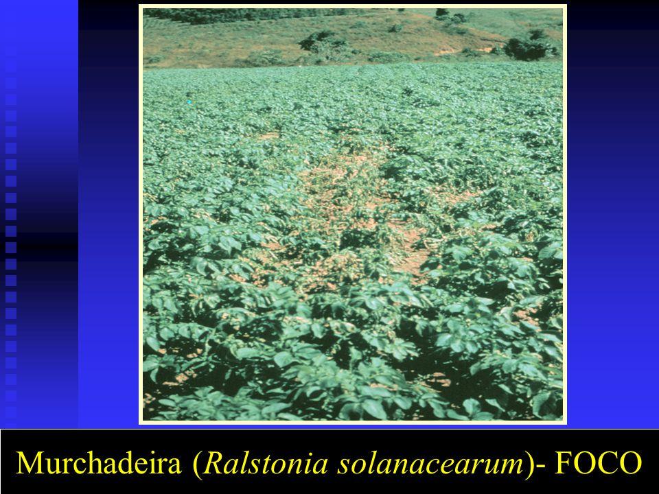 Murchadeira (Ralstonia solanacearum)- FOCO