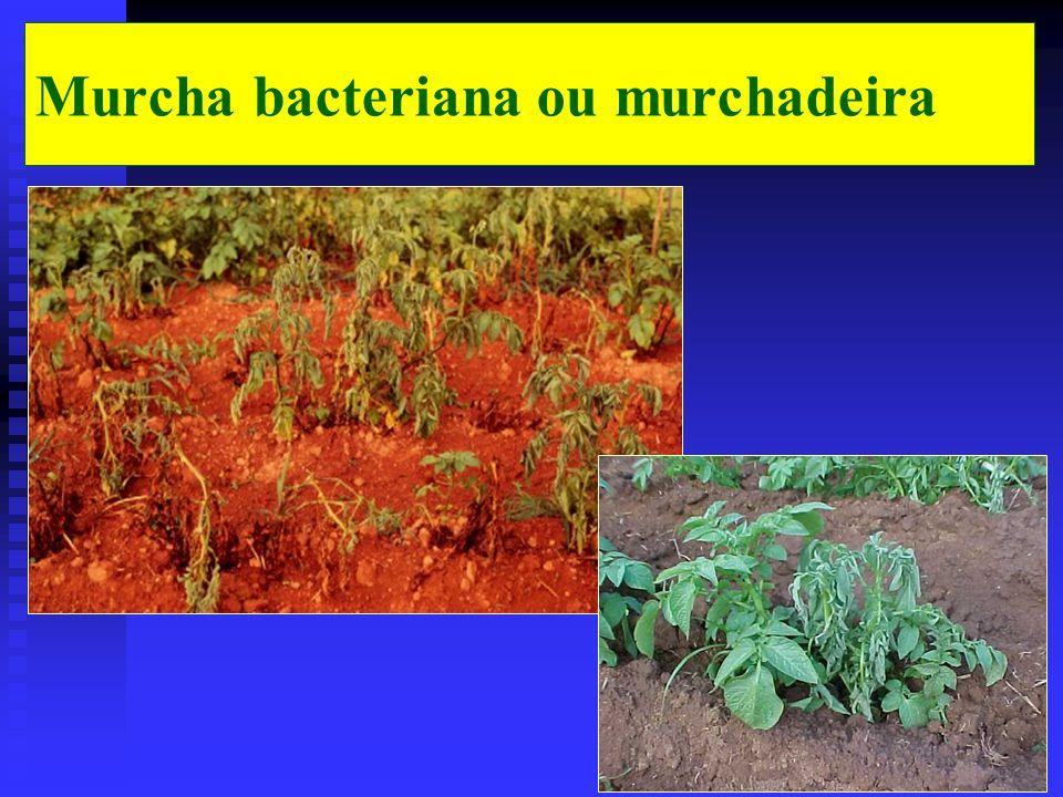 Murcha bacteriana ou murchadeira