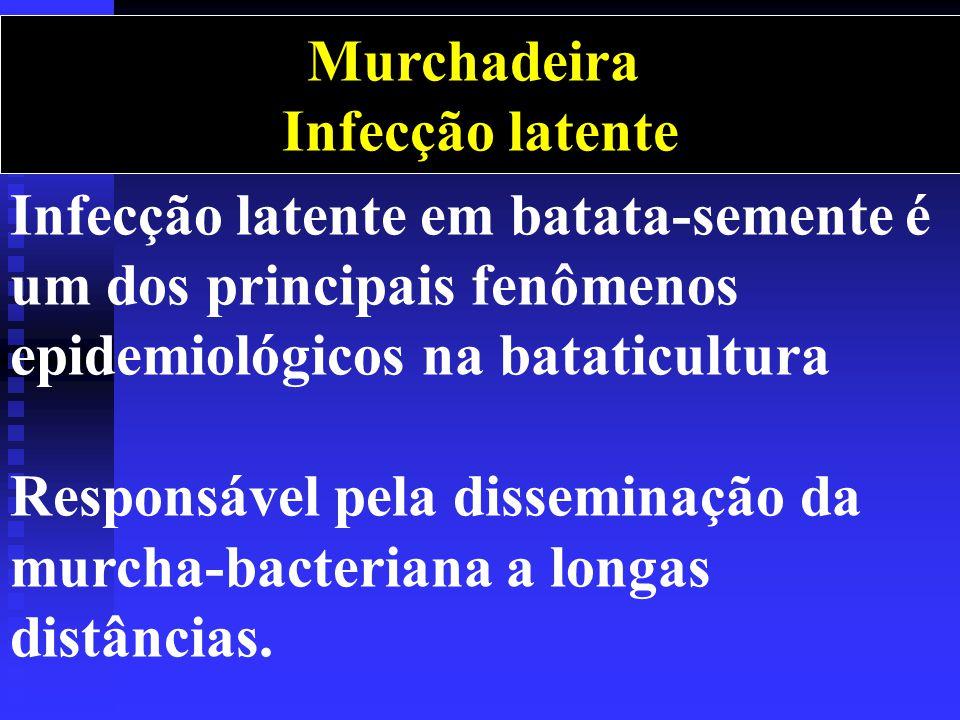 Murchadeira Infecção latente. Infecção latente em batata-semente é um dos principais fenômenos epidemiológicos na bataticultura.