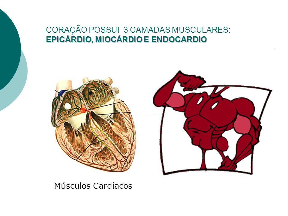 CORAÇÃO POSSUI 3 CAMADAS MUSCULARES: EPICÁRDIO, MIOCÁRDIO E ENDOCARDIO