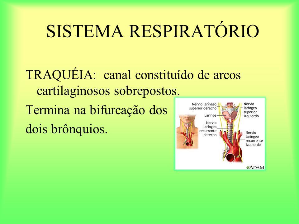 SISTEMA RESPIRATÓRIO TRAQUÉIA: canal constituído de arcos cartilaginosos sobrepostos. Termina na bifurcação dos.
