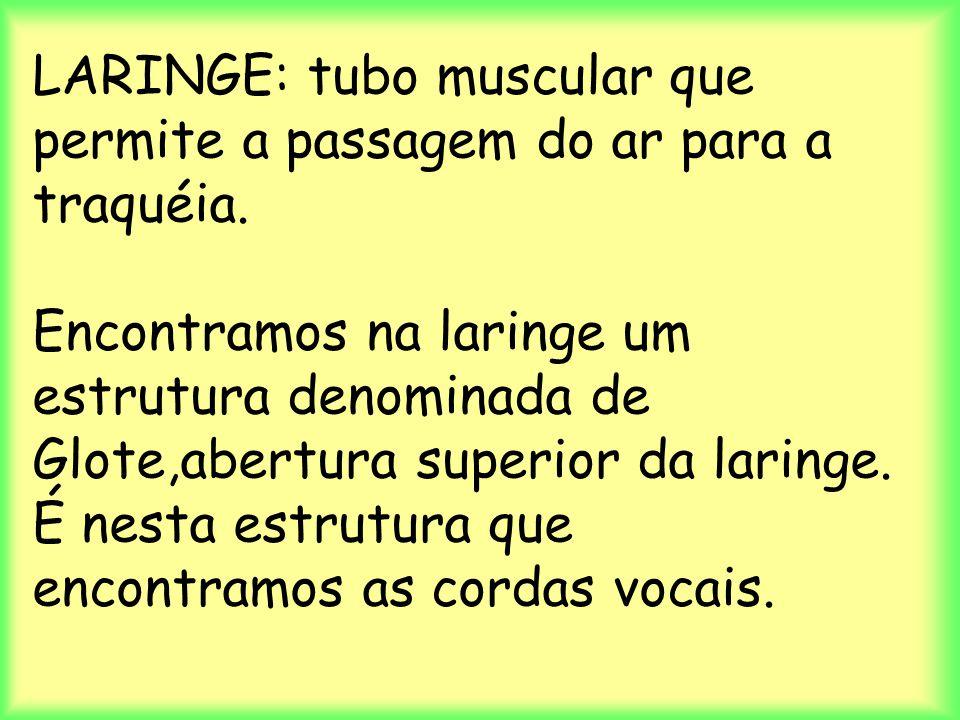 LARINGE: tubo muscular que permite a passagem do ar para a traquéia