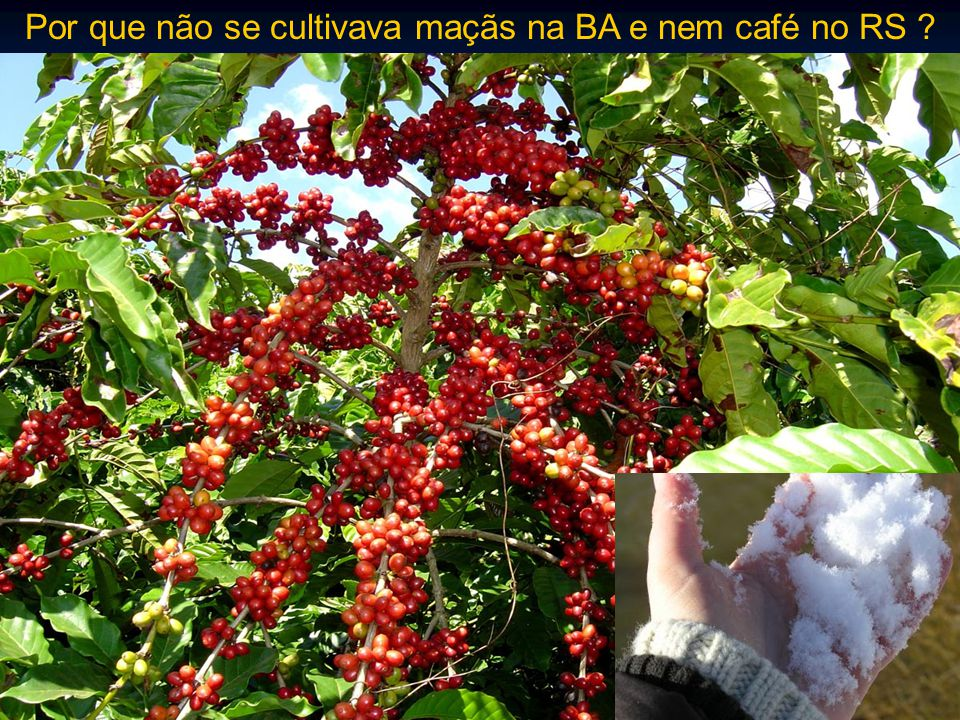Por que não se cultivava maçãs na BA e nem café no RS