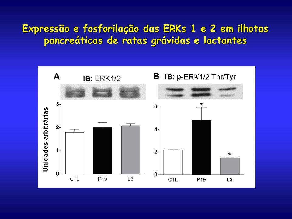Expressão e fosforilação das ERKs 1 e 2 em ilhotas pancreáticas de ratas grávidas e lactantes