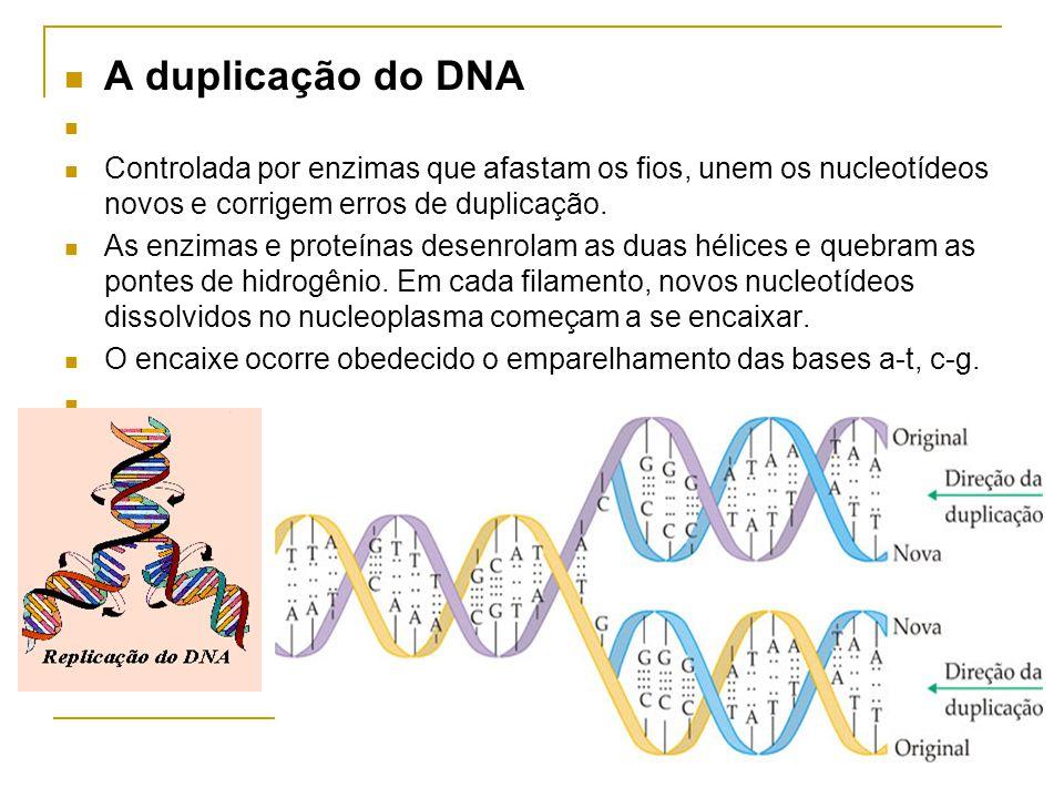 A duplicação do DNA Controlada por enzimas que afastam os fios, unem os nucleotídeos novos e corrigem erros de duplicação.