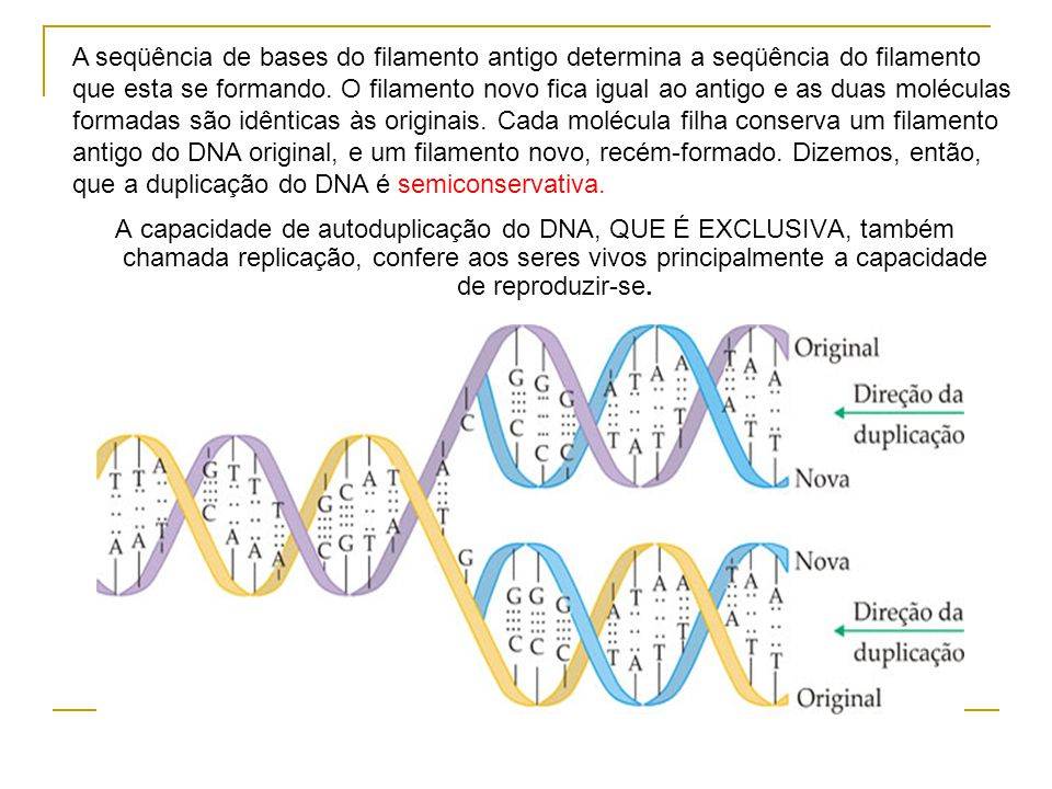 A seqüência de bases do filamento antigo determina a seqüência do filamento que esta se formando. O filamento novo fica igual ao antigo e as duas moléculas formadas são idênticas às originais. Cada molécula filha conserva um filamento antigo do DNA original, e um filamento novo, recém-formado. Dizemos, então, que a duplicação do DNA é semiconservativa.