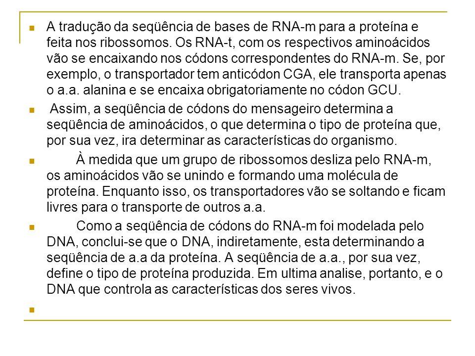 A tradução da seqüência de bases de RNA-m para a proteína e feita nos ribossomos. Os RNA-t, com os respectivos aminoácidos vão se encaixando nos códons correspondentes do RNA-m. Se, por exemplo, o transportador tem anticódon CGA, ele transporta apenas o a.a. alanina e se encaixa obrigatoriamente no códon GCU.
