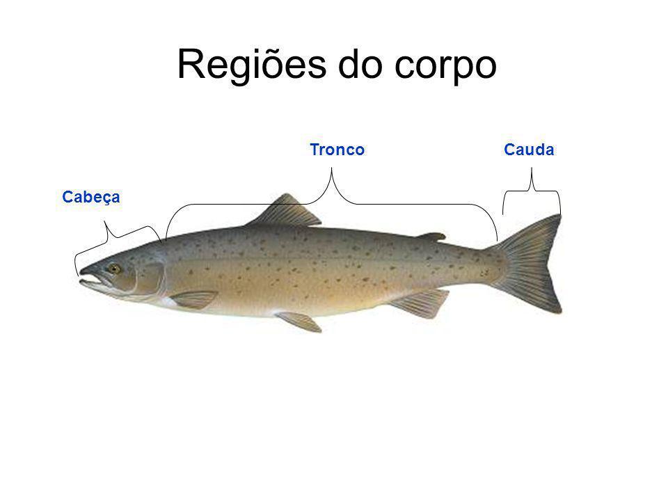 Regiões do corpo Tronco Cauda Cabeça