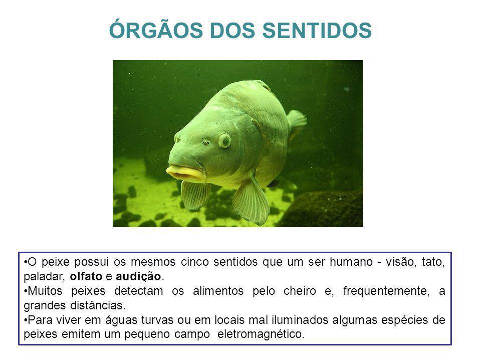 ÓRGÃOS DOS SENTIDOS O peixe possui os mesmos cinco sentidos que um ser humano - visão, tato, paladar, olfato e audição.