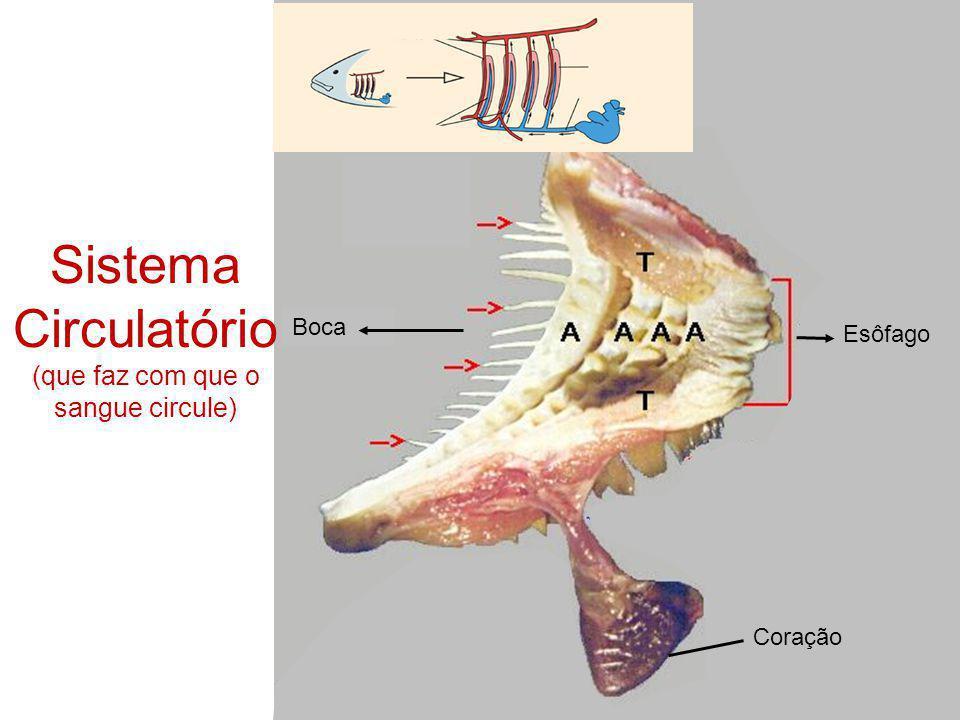 Sistema Circulatório (que faz com que o sangue circule)