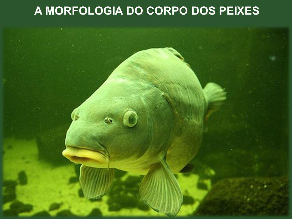 A MORFOLOGIA DO CORPO DOS PEIXES