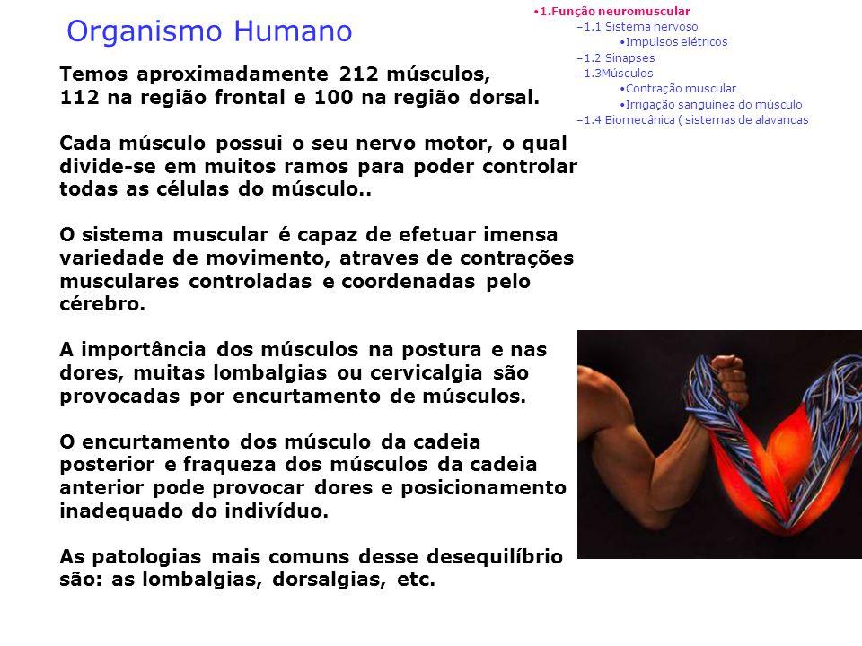 Organismo Humano Temos aproximadamente 212 músculos,