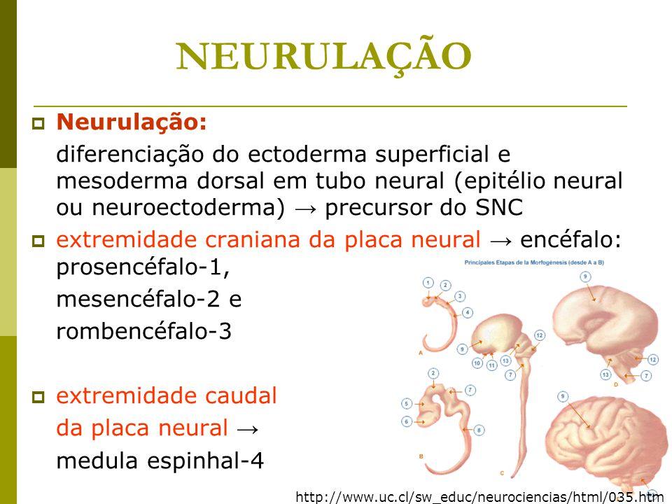 NEURULAÇÃO Neurulação: