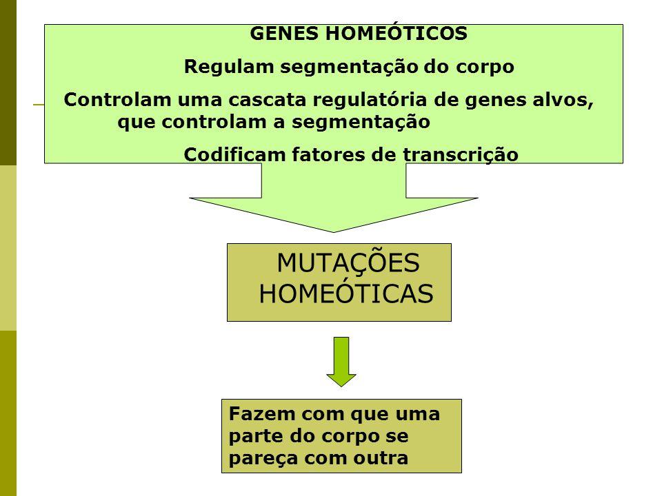 MUTAÇÕES HOMEÓTICAS GENES HOMEÓTICOS Regulam segmentação do corpo