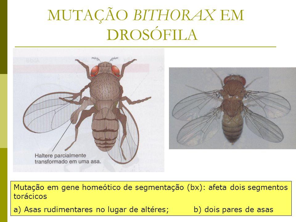 MUTAÇÃO BITHORAX EM DROSÓFILA
