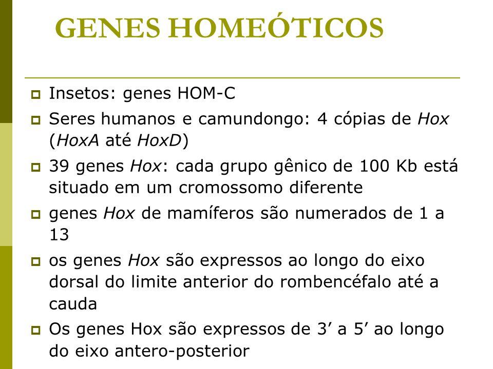 GENES HOMEÓTICOS Insetos: genes HOM-C