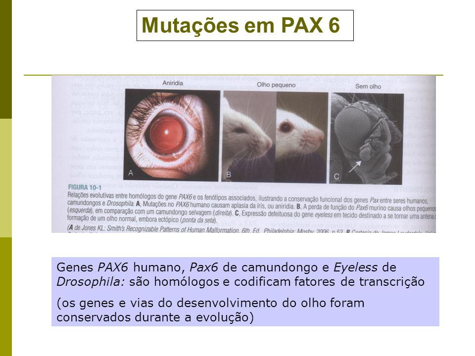 Mutações em PAX 6 Genes PAX6 humano, Pax6 de camundongo e Eyeless de Drosophila: são homólogos e codificam fatores de transcrição.