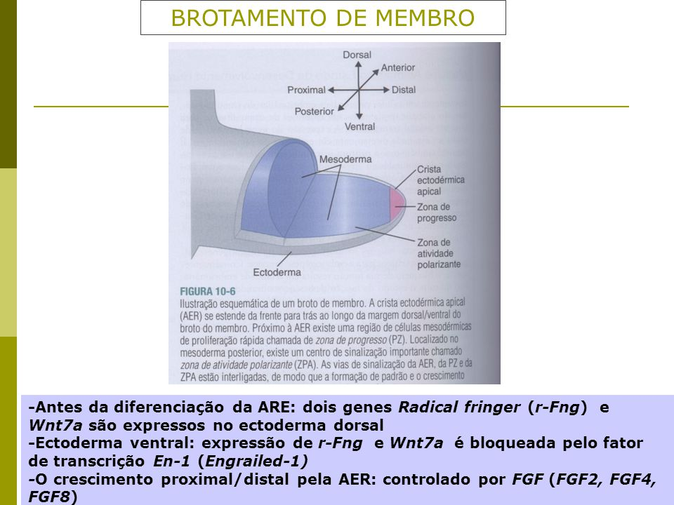 BROTAMENTO DE MEMBRO -Antes da diferenciação da ARE: dois genes Radical fringer (r-Fng) e Wnt7a são expressos no ectoderma dorsal.