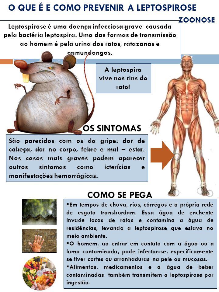A leptospira vive nos rins do rato!