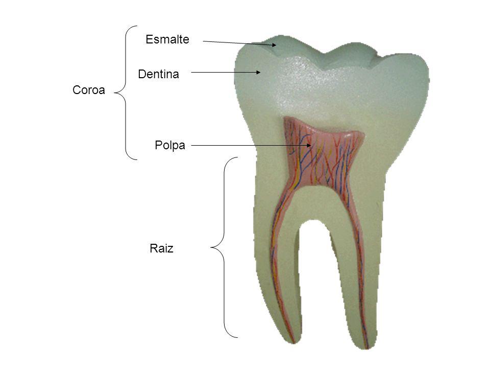 Esmalte Dentina Coroa Polpa Raiz