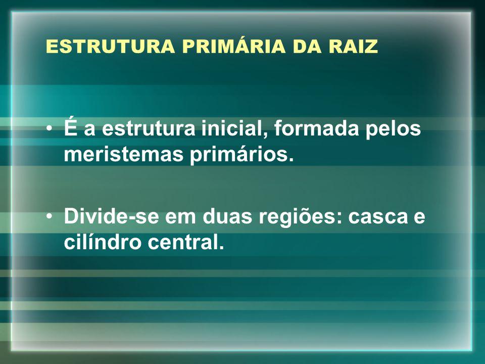 ESTRUTURA PRIMÁRIA DA RAIZ