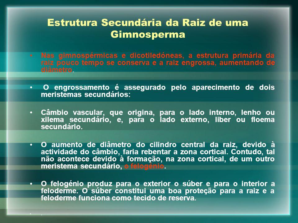 Estrutura Secundária da Raiz de uma Gimnosperma