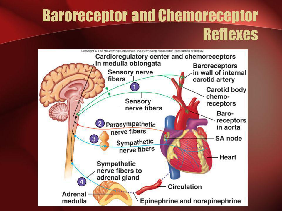 Baroreceptor and Chemoreceptor Reflexes