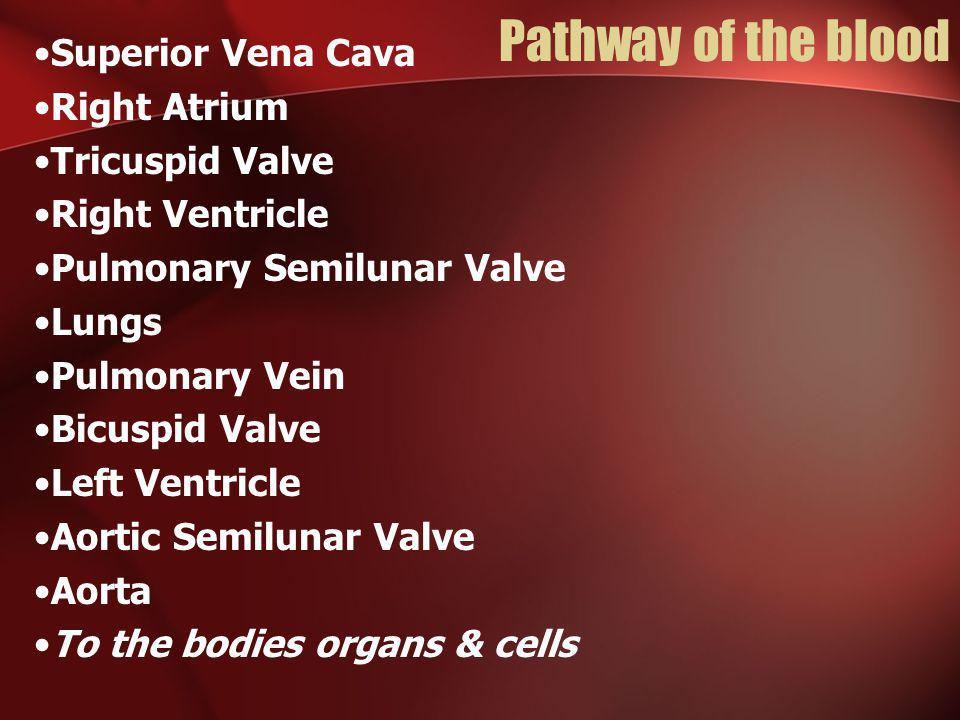 Pathway of the blood Superior Vena Cava Right Atrium Tricuspid Valve