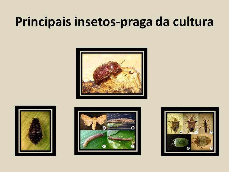 Principais insetos-praga da cultura