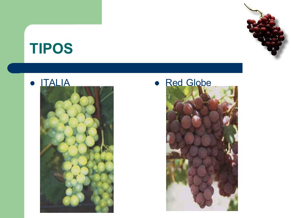 TIPOS ITALIA Red Globe