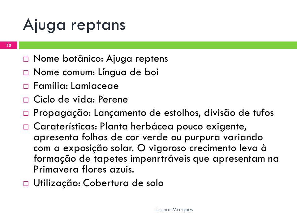 Ajuga reptans Nome botânico: Ajuga reptens Nome comum: Língua de boi