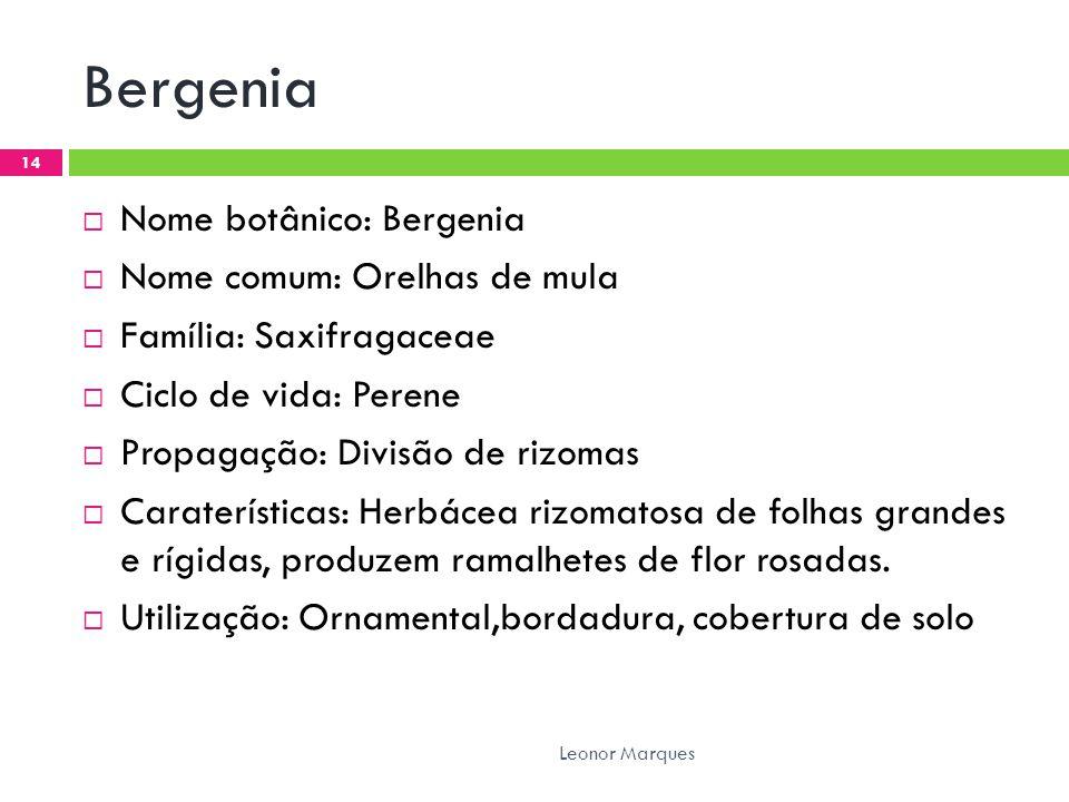 Bergenia Nome botânico: Bergenia Nome comum: Orelhas de mula